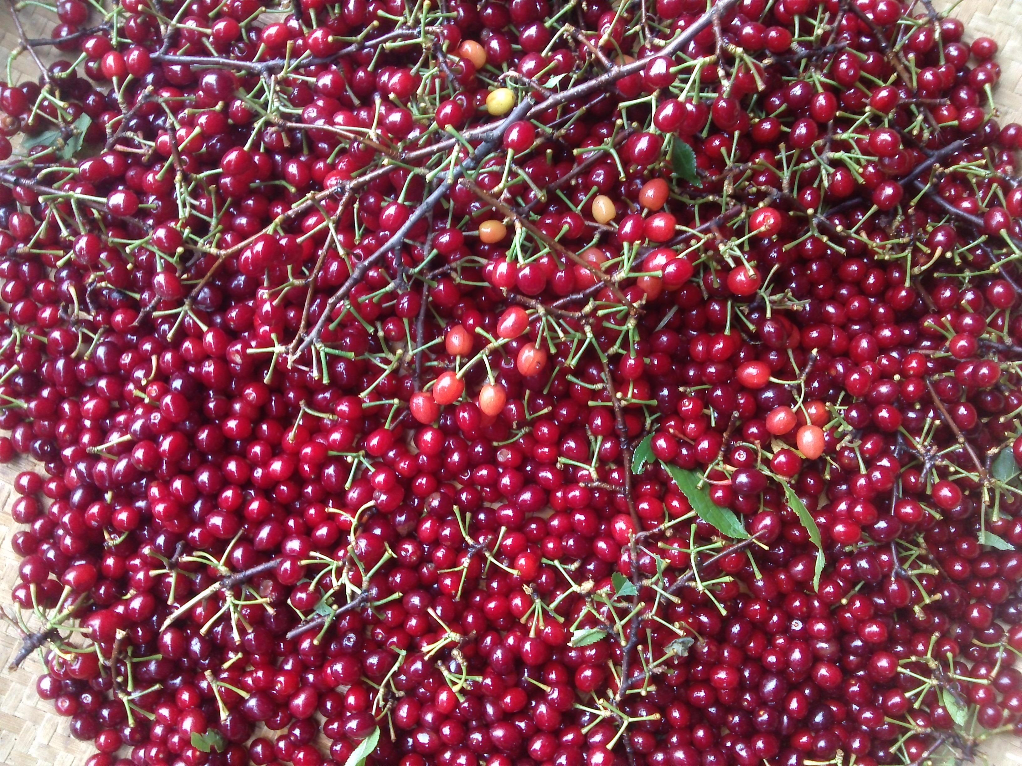 芙蓉山自古盛产野生樱桃,以前大部分樱桃树被村民砍掉当柴烧.